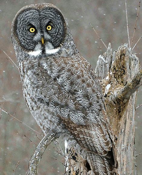 Great gray owls spotted near Massena Intake and Robert ...
