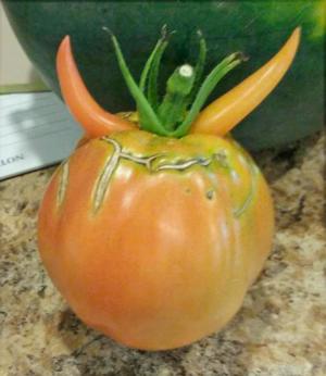 Hermon-Halloween-tomato.png