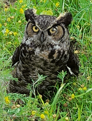 Owl-in-Potsdam.png