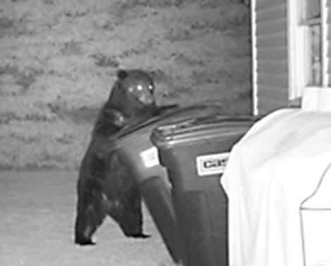 Bear-in-gargbage.png