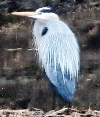 Blue-heron-Richville.png
