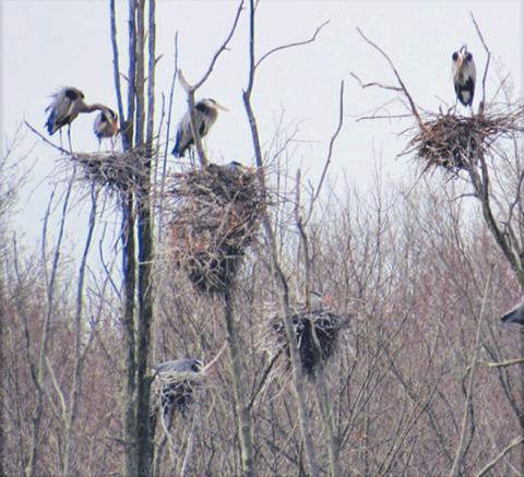 Blue-herons-Morristown.png