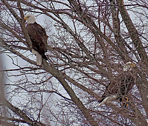 Canton-bald-eagles.png