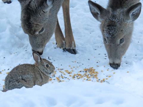 Canton-deer.png