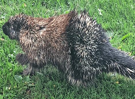 Canton-porcupine.png
