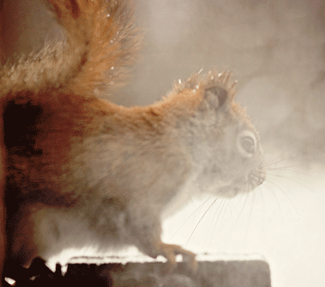 Cold-squirrel-Pierrepont.png
