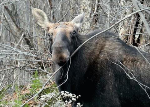 Colton-Moose-C.png