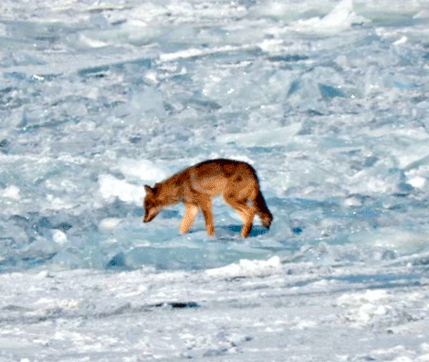 Coyote-on-ice.png