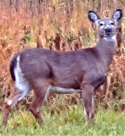 Deer-in-Richville.png