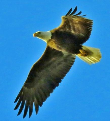 Eagle-DePeyster.png