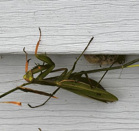 Edwards-Mantis.png