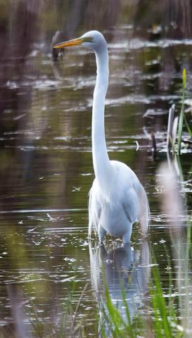Egret-Brasher.png