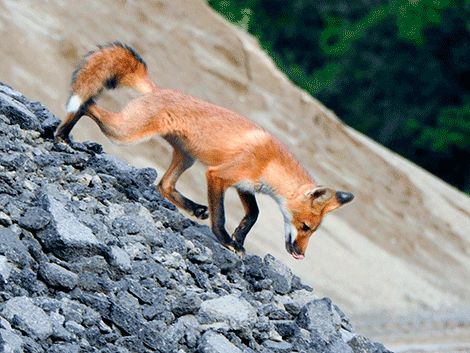 Fox-in-Oswegatchie.png