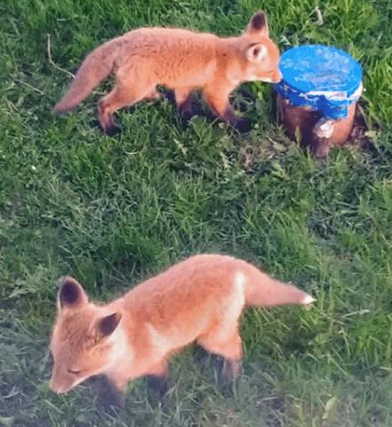 Fox-kits-Canton.png