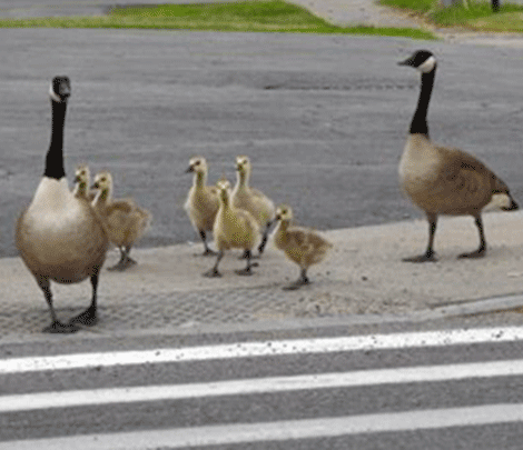 Geese-cross-Massena.png