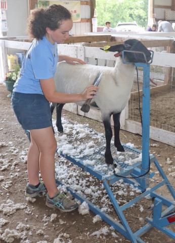 Gouverneur-Heuvelton-sheep.png