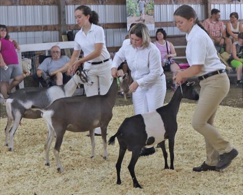 Gouverneur-senior-goats.png