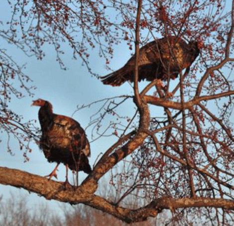 Groundhog-day-turkeys-Massena.png