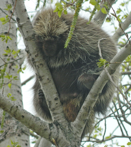 Lisbon-sleepy-porcupine.png