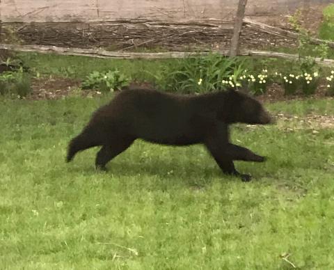 Louisville-bear.png
