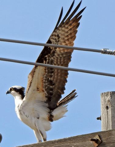 Macomb-osprey.png
