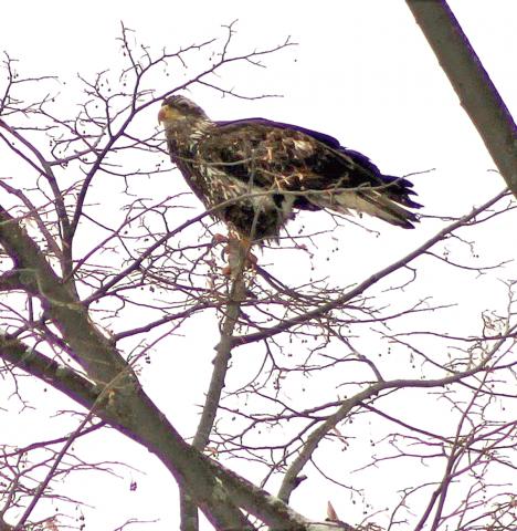 Massena-eagles.png