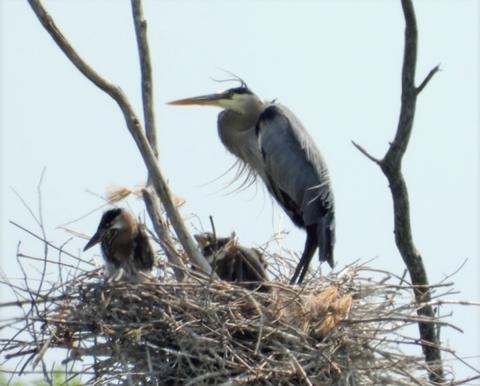 Morristown-blue-herons.png
