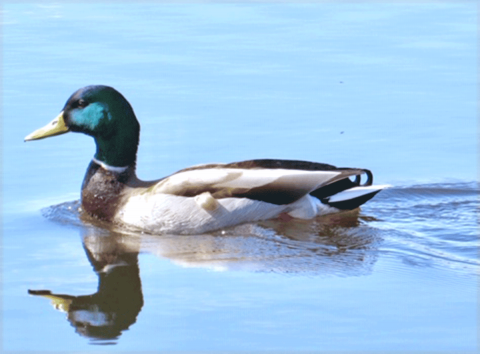 Morristown-duck.png