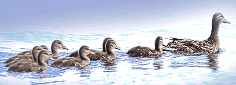 Ogd-duck-family-.png