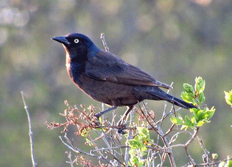 Ogdensburg-starling.png