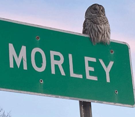 Owl-in-Morley.png