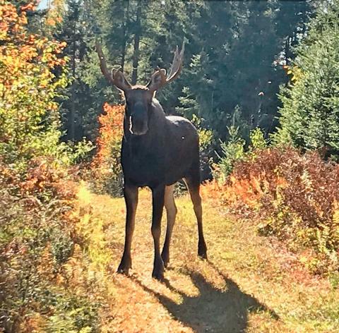 Parishville-moose.png