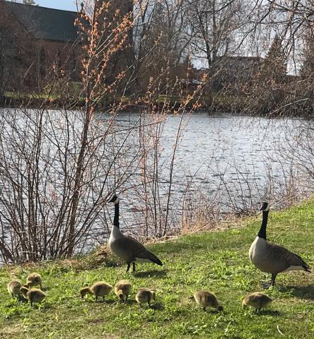 Potsdam-goslings.png