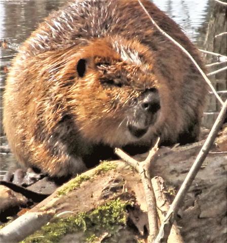Richville-beaver.png