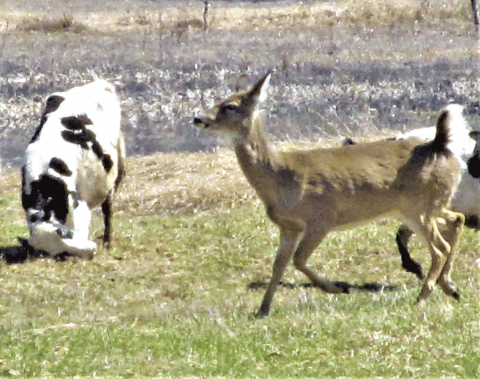 Richville-deer-cow.png