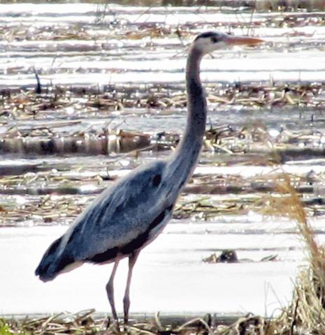 Richville-heron.png