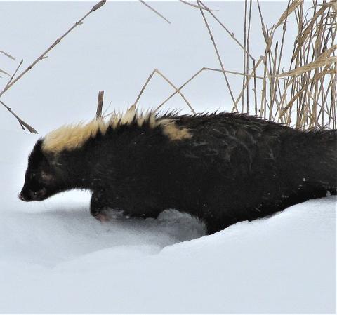 Richville-skunk.png