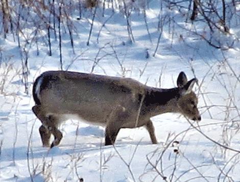 Richville-snow-deer.png