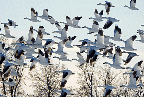 Snow-geese-Oswegatchie.png