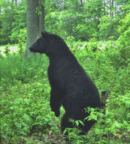 Waddignton-bear.png