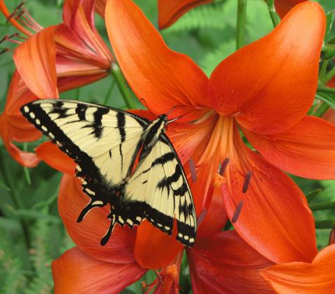 Wanakena-swallowtail-lily.png