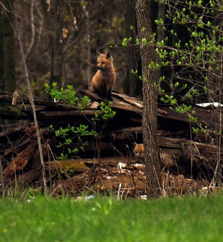 West-Stockholm-fox-litter.png