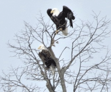 bald-eagles.png