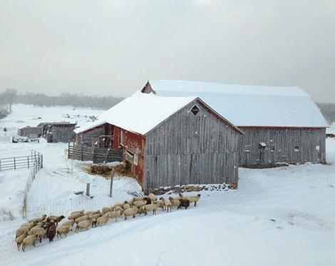 dekalb-winter-sheep.png