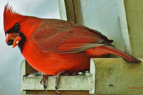 depeyster cardinal.png
