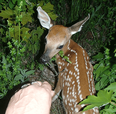 fawn-colton.png
