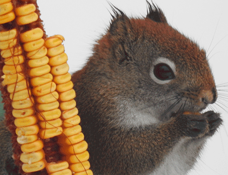 hungry-squirrel.png