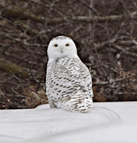 lisbon-owl.png