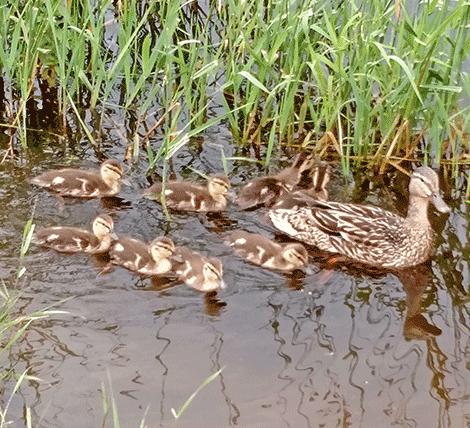 oburg-ducks.png