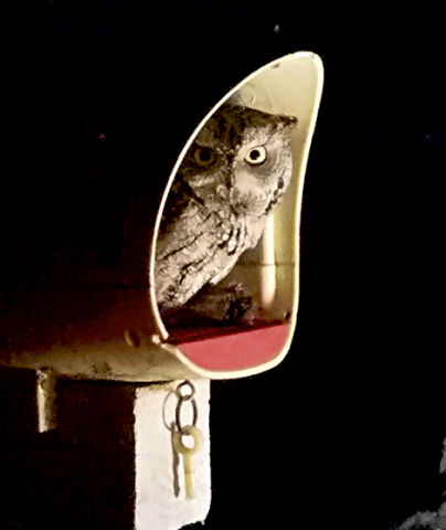 owl-in-massena.png